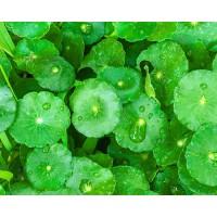 Centella Asiática - Gotu Kola 400 mg 90 Capsulas Healthy America